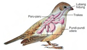 alat pernafasan burung