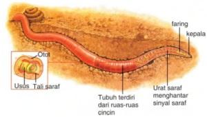 alat pernafasan cacing