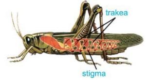 alat pernafasan serangga