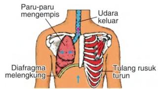 pernafasan pada manusia1
