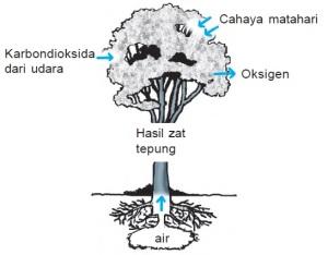 Fotosintesis pada Tumbuhan Hijau
